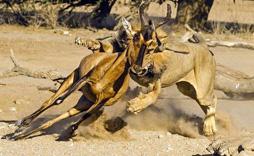 羚羊与狮子的启示:你别无选择,只能努力奔跑!